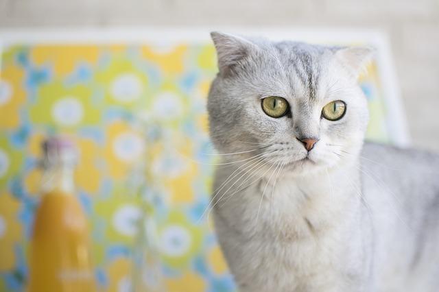 【画像】大西流星の飼い猫「トキくん」が可愛いと話題!種類はなに?